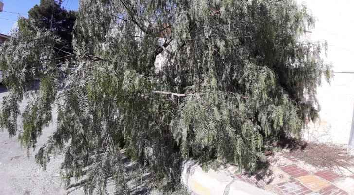 Residents of building in Amman call on GAM to remove tree that fell due to strong winds