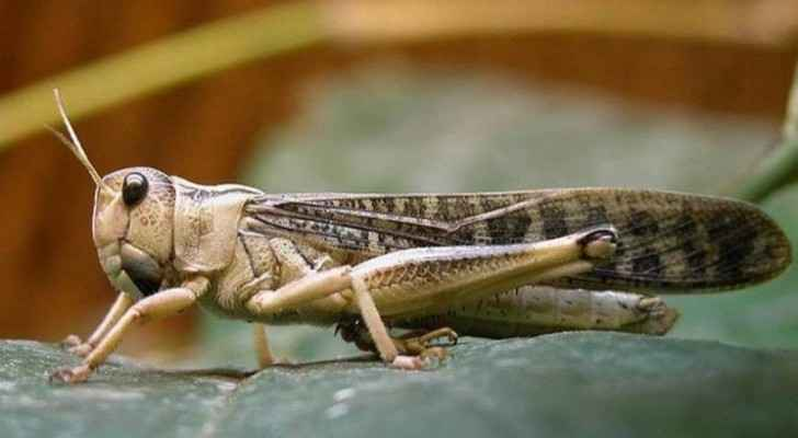 Agriculture Ministry declares 'utmost emergency state' to combat locust swarms
