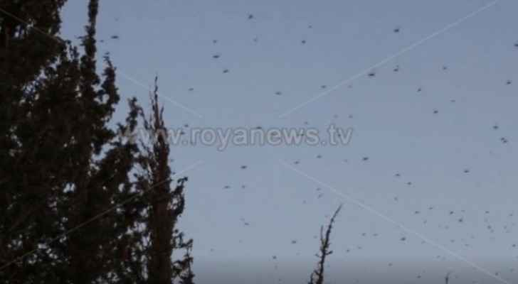 Agriculture Ministry: Threat of desert locusts still present