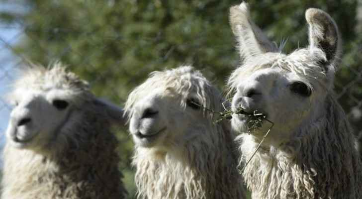 Neuroscientists isolate 'mini-antibodies' against COVID-19 in llamas