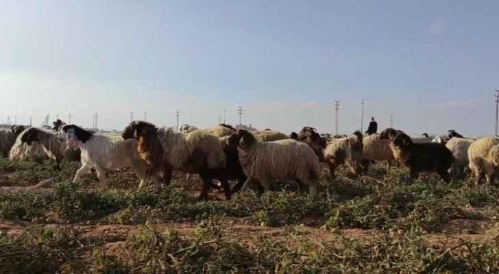 Livestock farmers demand reconsideration of procedures behind livestock exports