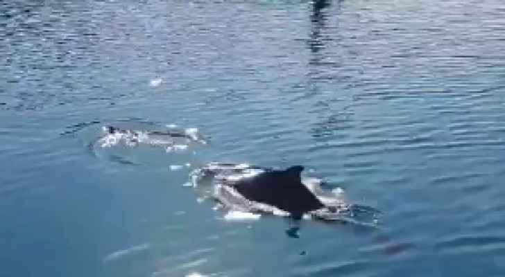 Dolphins visit Aqaba
