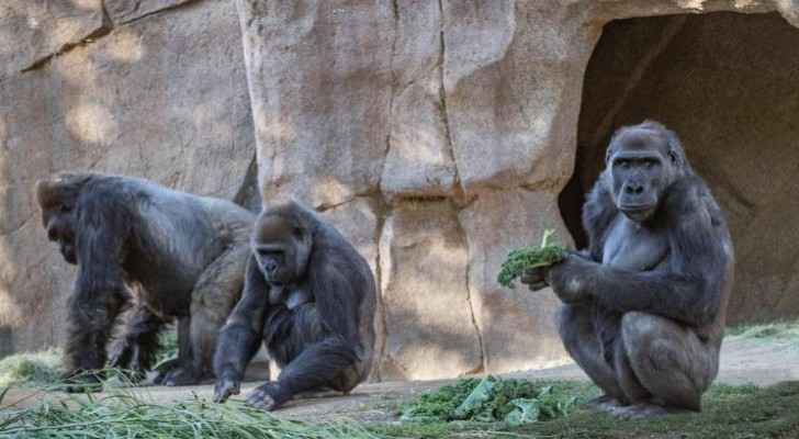 COVID-19 infections recorded among gorillas 'on the brink' of extinction