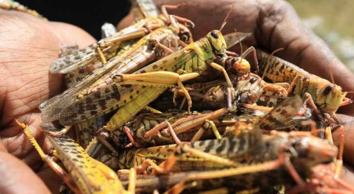IMAGES: Fight against swarms of desert locusts continues: Agriculture Ministry