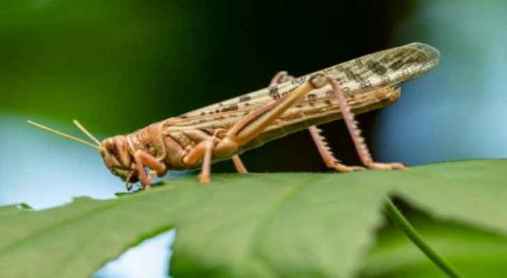 Ma'an is free of locusts: Ma'an official
