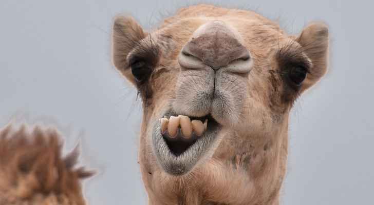 Scientist injects COVID-19 immune camels with virus to study antibodies