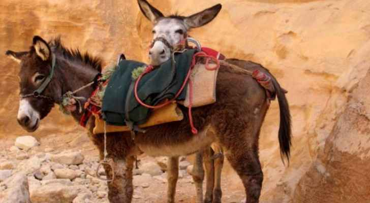 Petra's donkeys suffer as coronavirus cripples tourism