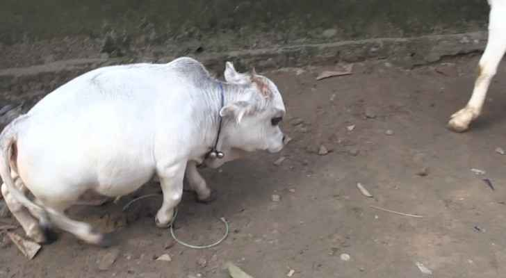 VIDEO: Dwarf cow becomes Bangladesh tourist attraction